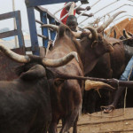 Extortion at Checkpoints: Northern Cattle Dealers Threaten to stop taking Cows To South