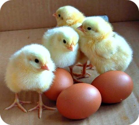 chicksandeggschickenfarmingguideugandaafrica