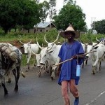 Troops Recover 300 Rustled Cattles By Suspected Boko Haram Terrorists