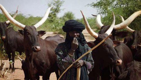fulani-cattle