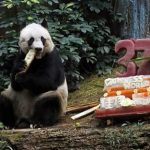 World Oldest Panda Dies At 38 In Hong Kong