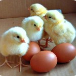 Poultry Farmers Want An Egg Per Child Daily in Public, Private Schools