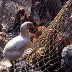 Anxiety Over Bird Flu In Lagos, 2000 Fowls Destroyed