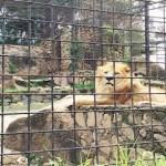 Lion Escapes Out Of Jos Wild Park