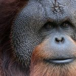 After Years of Research, New Great Ape Species Identified In Indonesia