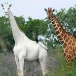 Kenya Says a Rare White Giraffe Spotted in Conservancy