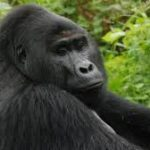 Poachers Kill Uganda's Famous Mountain Gorilla