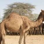 East Africa Records High Demand For Camel Milk To Fight COVID-19